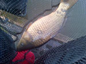 3 lb carp
