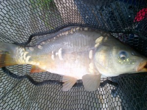 biggest mirror carp of the day
